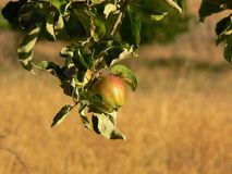Apple on tree branch Royalty Free Stock Photo