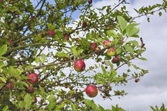 Apple tree branch Stock Image