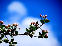 Apple-tree branch. The branch of an apple-tree blossomed pink flowers Stock Images