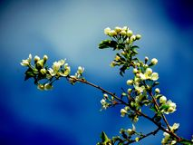Apple-tree branch. In the early spring apple-trees in a garden of the farmer blossomed Royalty Free Stock Photos