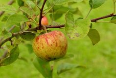 Apple on the tree Stock Photography