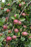 Apple tree branch. With ripe red apples royalty free stock photos