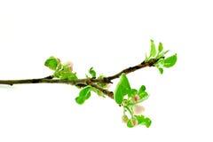 Apple tree branch stock photo