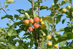 Apple tree branch against the skyy Stock Photos