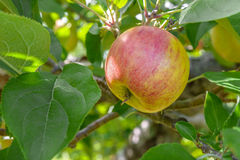 Apple on a tree branch Royalty Free Stock Images