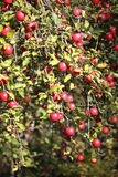 Apple tree branch with apples Stock Photography