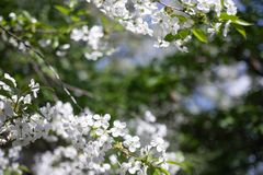 Apple tree branch with beautiful white flowers, shot close-up royalty free stock photos