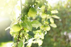 Greener on the Other Side. Apple Tree Branch Bending Down from Weight of Apples Royalty Free Stock Photo