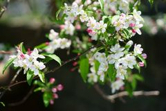 Apple tree branch in bloom in bright daylight. Royalty Free Stock Image