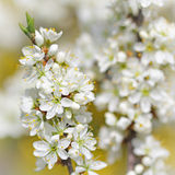 Apple tree branch in bloom in springtime Stock Photography