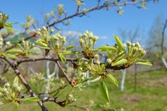 Apple tree branch with blossoming buds. Of flowers in the garden Royalty Free Stock Photo