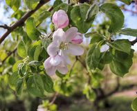 Apple tree. Branch of a blossoming apple tree with white and pink flowers against the blue sky Royalty Free Stock Photography