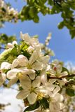 Apple tree. Branch of a blossoming apple tree with white and pink flowers against the blue sky Royalty Free Stock Photos