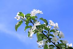 Apple tree branch with delicate white flowers stretching to the spring sun stock photo