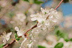 Apple tree branch with flowers Stock Images
