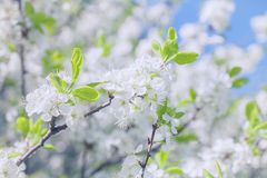Apple tree branch with flowers Royalty Free Stock Photo