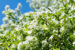 Apple tree branch with flowers blossom. Apple tree branch with blossoming flowers with sky background Royalty Free Stock Image