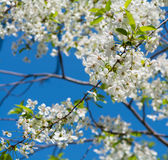 Apple tree branch with flowers blossom. Over the sky Stock Photography