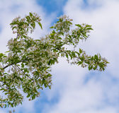 Apple tree branch with flowers blossom. Over the sky Stock Image