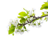 Apple tree branch with flowers isolated on white Stock Image