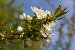 Apple Tree Branch with Flowers Stock Photos