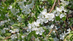 Apple-tree branch with flowers in spring stock video
