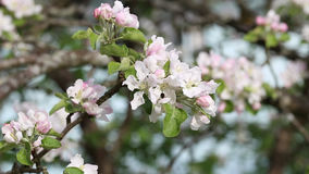 Apple tree branch with flowers stock footage