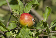 Apple tree branch with fresh juicy fruits Royalty Free Stock Photo