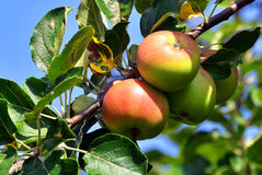 Apple tree branch with fresh juicy fruits Stock Images