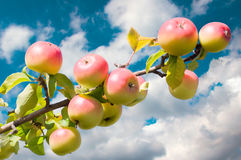Apple tree branch with fruis. Apple tree branch with fruits close-up Royalty Free Stock Photos