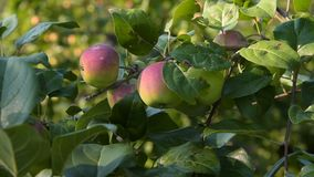 Apple tree branch with fruit. Close-up shot of apple tree branch with fruit in the warm light of sunset stock video footage