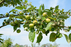 Apple tree branch with fruit Royalty Free Stock Photo