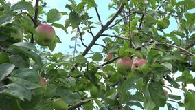 Apple tree branch fruit swing on wind in blue sky background. 4K stock video footage