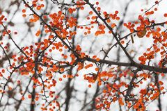 Apple tree branch with fruits. Small orange Chinese apples Malus prunifolia. Soft focus, shallow depth of field.  Royalty Free Stock Photo