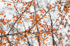 Apple tree branch with fruits. Small orange Chinese apples Malus prunifolia. Soft focus, shallow depth of field Royalty Free Stock Image
