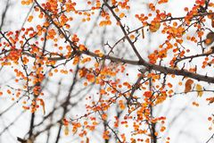 Apple tree branch with fruits. Small orange Chinese apples Malus prunifolia. Soft focus, shallow depth of field.  Stock Photography