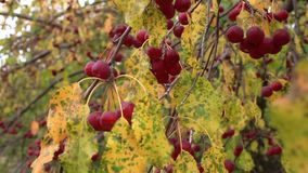 Apple-tree branch with fruits on wind. Harvest of ripe small apples stock video