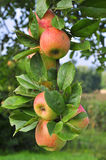 Apple tree branch full of apples Royalty Free Stock Photo