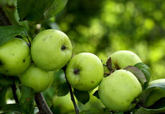 Apple tree branch with green apple fruits Royalty Free Stock Photo