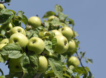 Apple tree branch with green apple fruits Royalty Free Stock Photos