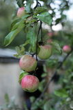 Apple tree, branch Stock Images