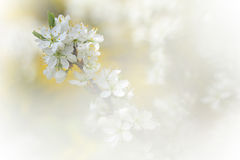 Apple Tree Branch In Bloom In Springtime Royalty Free Stock Photography