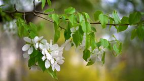 An apple tree branch with large white flowers flutters. stock footage