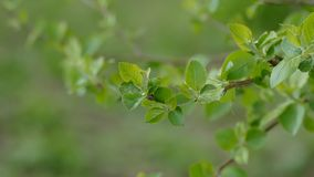 Apple tree branch with leaves close up nature green background landscape. Apple tree  branch with leaves close up nature green background landscape stock video