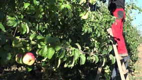 Apple tree branch moving in wind and worker reap apples. 4K. Apple tree branch with fruits moving in wind and worker reap apples harvest in background. 4K UHD stock footage