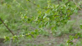 Apple tree branch nature with leaves close up landscape green background stock footage