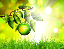 Apple on tree branch Stock Photos