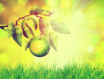 Apple on tree branch, over spring natural green background Royalty Free Stock Photos