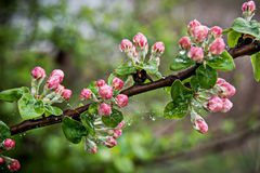 Apple tree branch with pink buds, covered with dew and cobwebs,. Spring morning Stock Photography