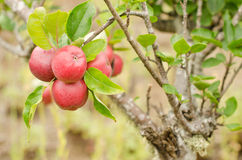 Apple tree. Branch of red apples in my garden Royalty Free Stock Image